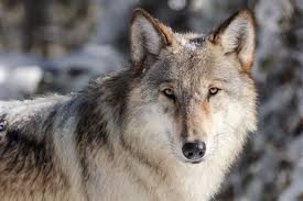 10 Interesting Facts About Wolves To Amaze You