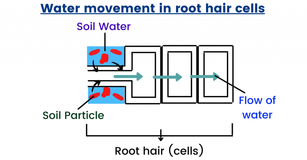 root hair cell transport in plants
