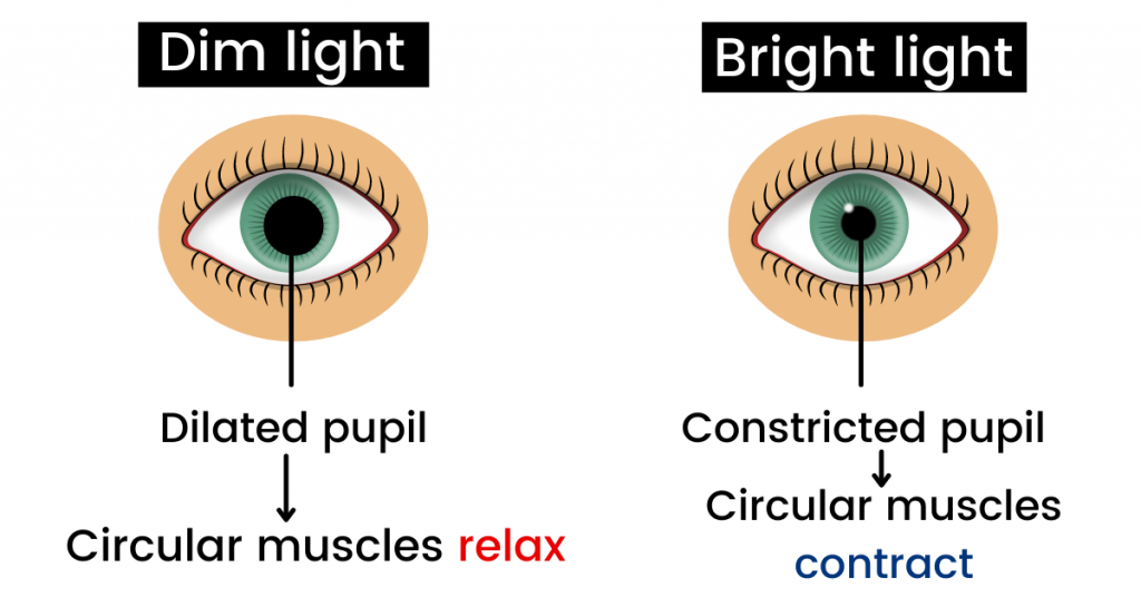 structure of the eye in light