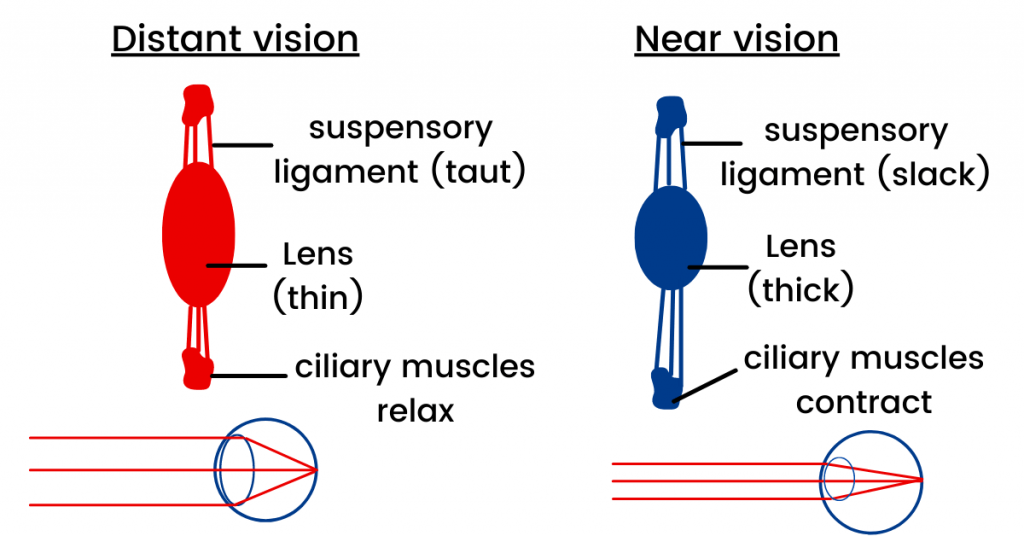 vision structure of the eye