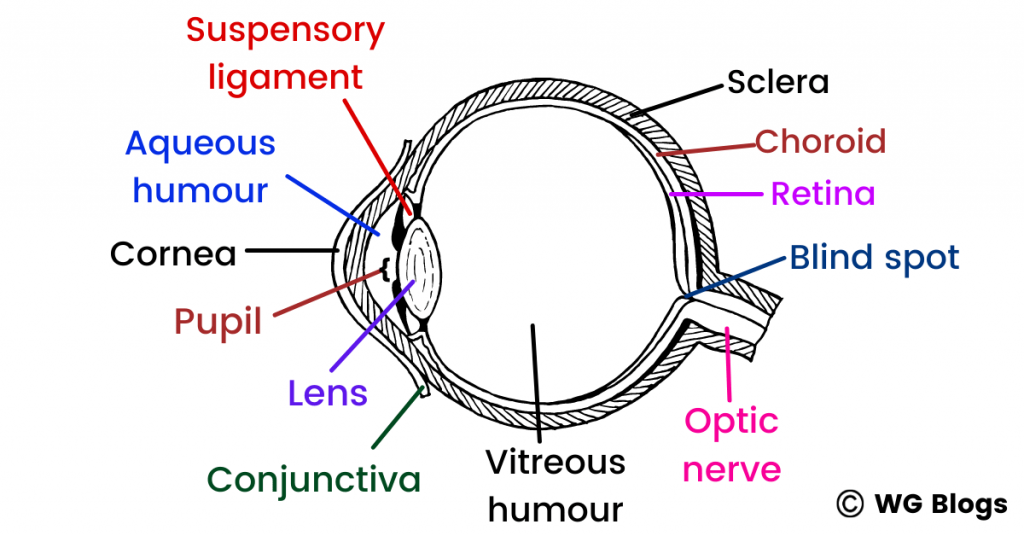 internal structure of the eye